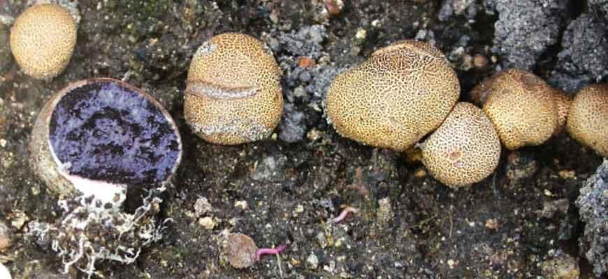 Ложный дождевик вкусный (Scleroderma sapidum(Corda) Zerova)