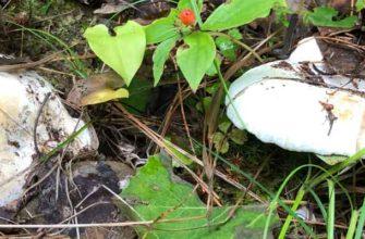 Скрипица (Lactarius vellereus). За и против