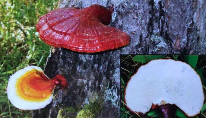 Трутовик лакированный (Ganoderma lucidum)