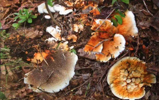 Ежовик оранжевый (Hydnellum aurantiacum (Batsh) P. Karst.)