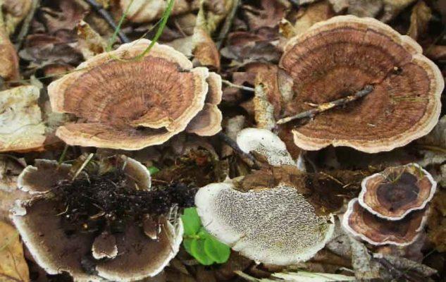 Ежовик зональный (Hydnellum concrescens (Pers.) Banker = H. zonatum (Fr.) P. Karst.)