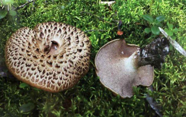 Ежовик черепитчатый, пестрый (Sarcodon imbricatus (L.) P. Karst.)