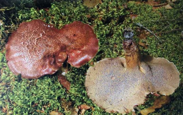 Ежовик чешуйчатый (Sarcodon squamosus) (Schaeff.) Quel.)